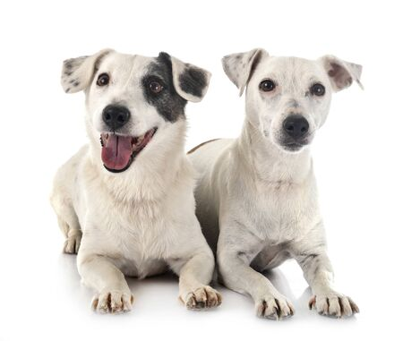 jack russel terriers in front of white background Archivio Fotografico