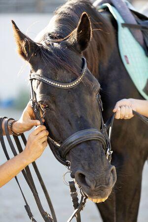 photo of a black stallion with bridle 版權商用圖片