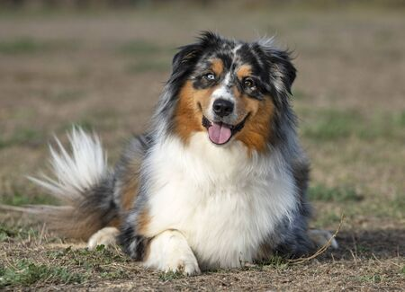 tricolor australian shepherd resting in the nature