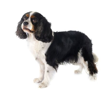 cavalier king charles in front of white background 版權商用圖片