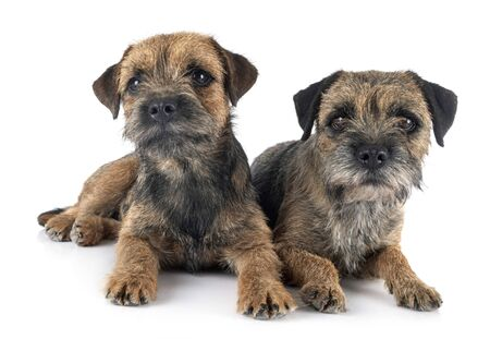 border terriers in front of white background Imagens
