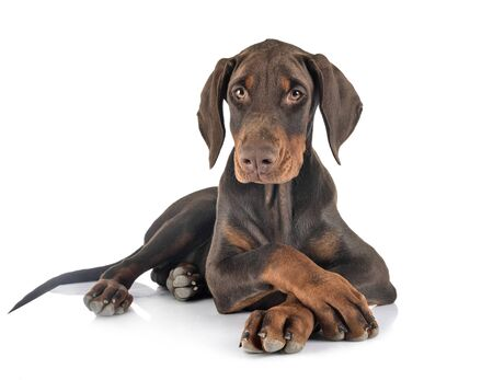 puppy dobermann pinsher in front of white background Stock Photo