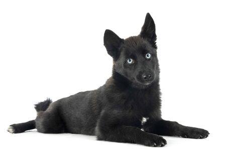 black pomsky in front of white background Stok Fotoğraf