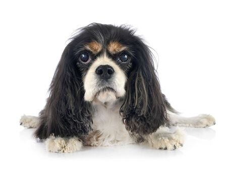 cavalier king charles in front of white background 스톡 콘텐츠