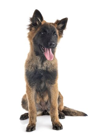 puppy tervueren in front of white background