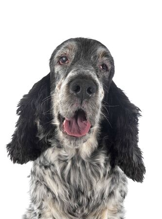 old english cocker in front of white background