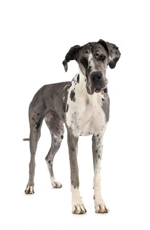 female great dane in front of white background Stock Photo