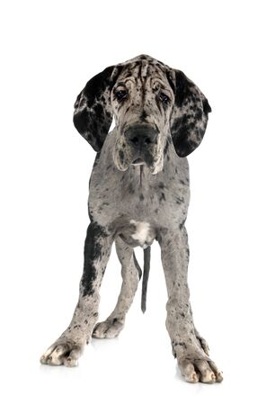 puppy great dane in front of white background Stock Photo
