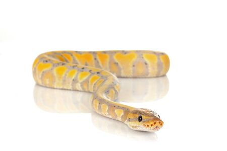 ball python in front of white background