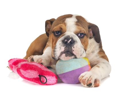 american bully in front of white background