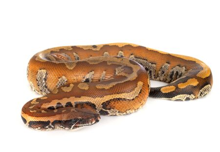 Python brongersmai in front of white background