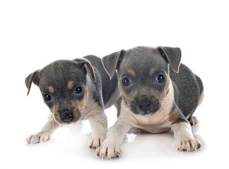 Welpen Brasilianischer Terrier vor weißem Hintergrund Standard-Bild