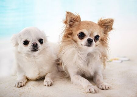 little chihuahuas in front of beach background