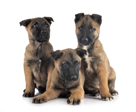 puppies belgian shepherd in front of white background