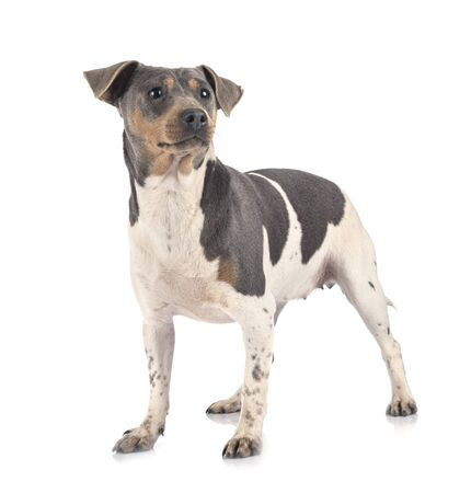 brazilian terrier in front of white background