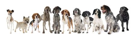 hunting dogs in front of white background