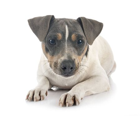 brazilian terrier in front of white background Archivio Fotografico