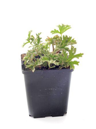 Pelargonium capitatum in front of white backgournd Stock Photo