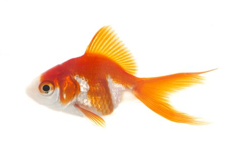 red goldfish in aquarium in front of white background Banque d'images