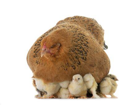 brahma chicken and chicks in a studio