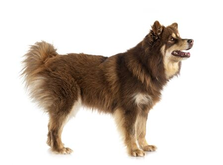Finnish Lapphund in front of white background