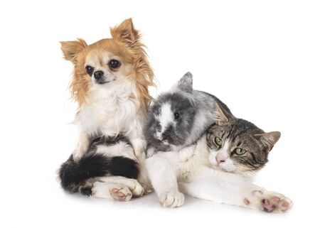 dwarf rabbit, chihuahua and cat in front of white background