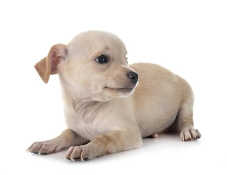 little chihuahua in front of white background Stock Photo