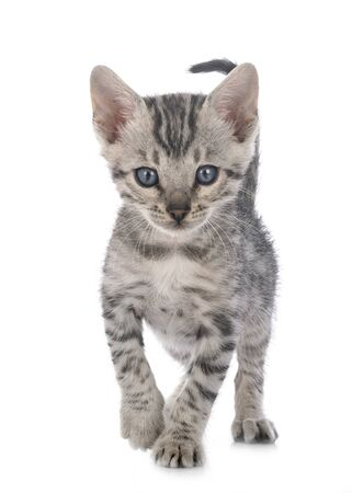 chat bengal devant fond blanc