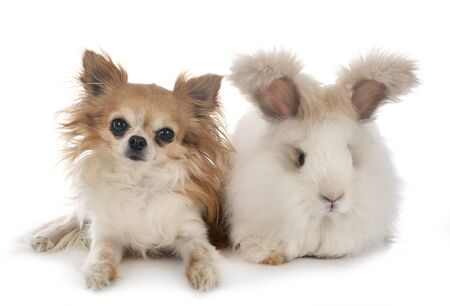 English Angora and chihuahua in front of white background Stock Photo