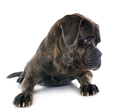 italian mastiff in front of white background