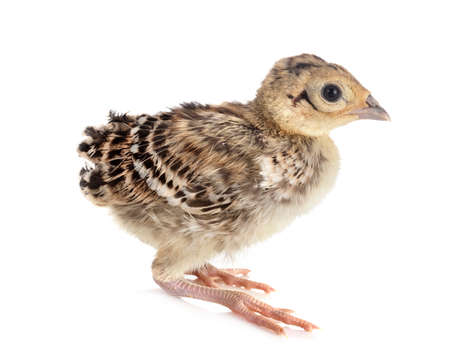 young pheasant in front of white background