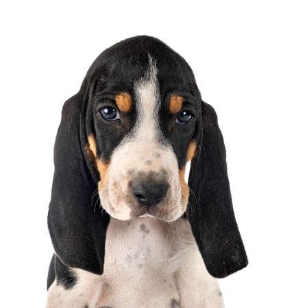 Bernese puppy Schweizer Laufhund in front of white background