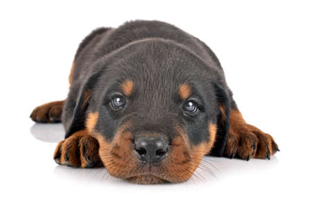 puppy rottweiler in front of white background Stock Photo