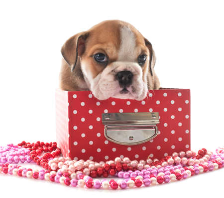 puppy english bulldog in front of white background Banque d'images