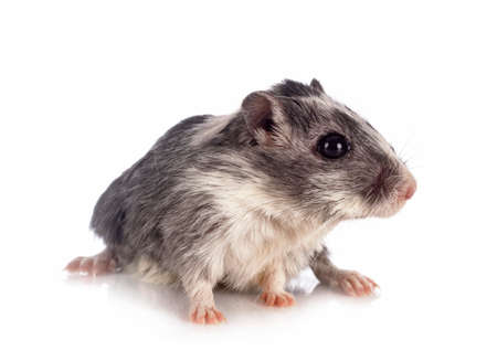 young gerbil in front of white background Stock Photo