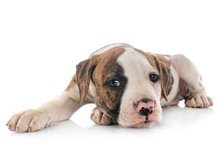 puppy american bulldog in front of white background Foto de archivo