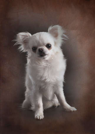 little chihuahua in front of brown background