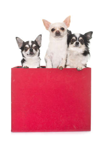 purebred chihuahuas in box in front of white background 스톡 콘텐츠