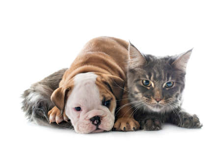 puppy english bulldog and cat in front of white background Foto de archivo
