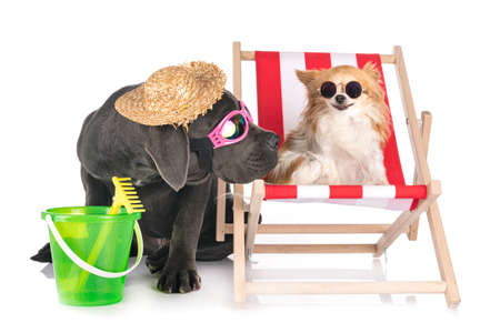 puppy great dane and chihuahua in front of white background