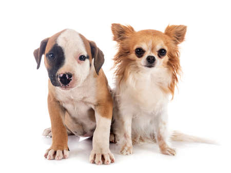 puppy american bulldog and chihuahua in front of white background 스톡 콘텐츠