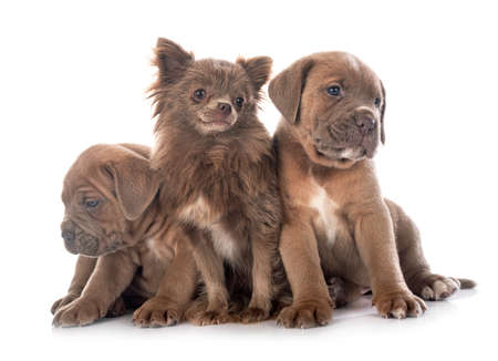 puppies italian mastiff and chihuahua in front of white background