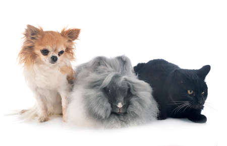 English Angora, cat and chihuahua in front of white background 版權商用圖片