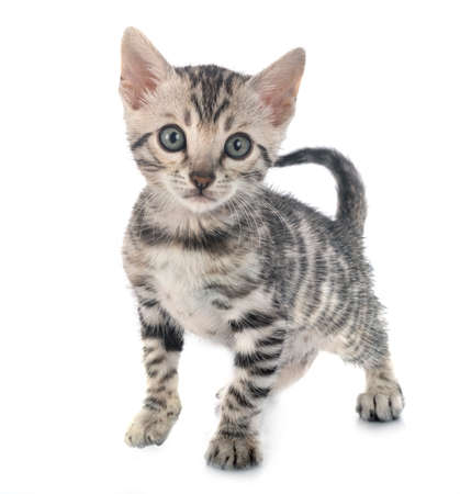 bengal cat in front of white background 版權商用圖片