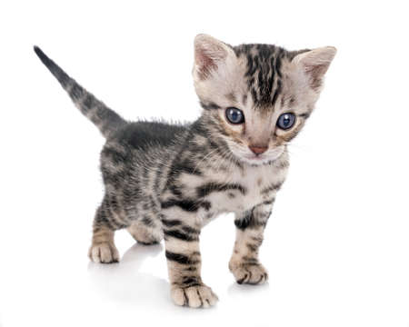 munchkin bengal cat in front of white background 版權商用圖片