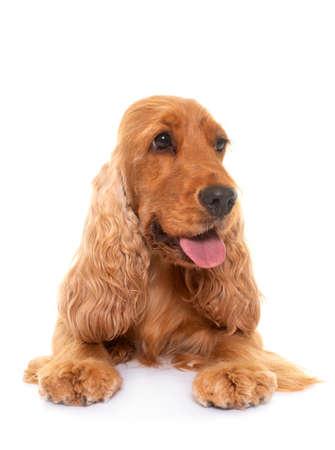 cocker spaniel in front of white background Stockfoto