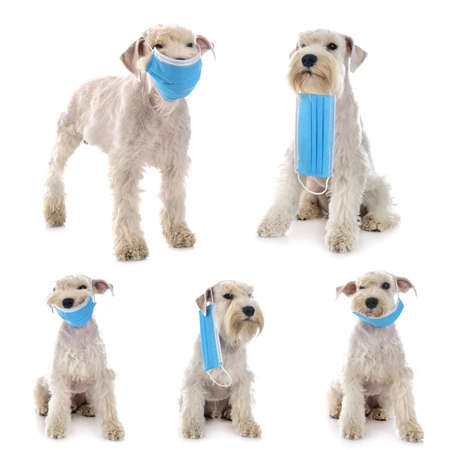 miniature schnauzer and mask in front of white background Stock Photo