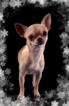 purebred chihuahua in front of black background Stock Photo