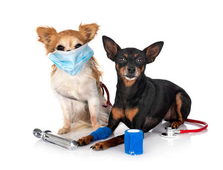 miniature pinscher and chihuahua in front of white background