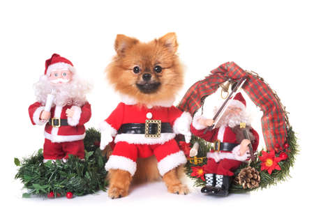 dog and christmas decoration in front of white background 版權商用圖片